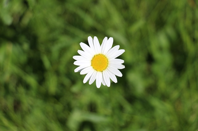Free daisy marguerite meadows margerite