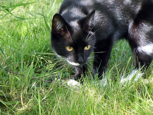 Free cat pet mieze hunting lauer waiting for hunt