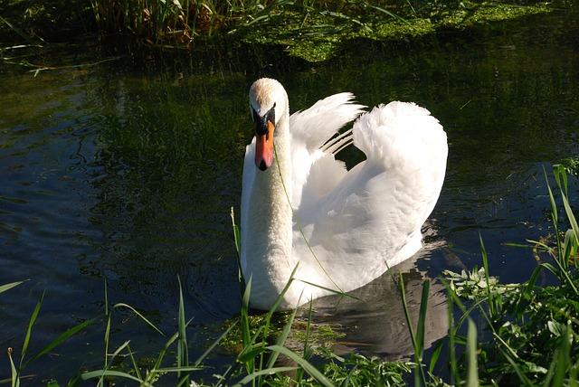Free mute swan cygnus olor plumage waterfowl white