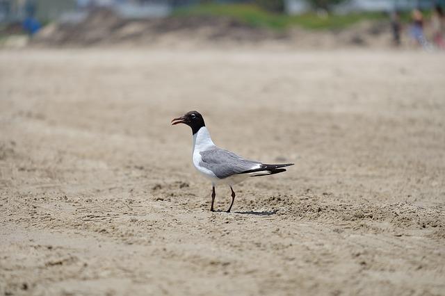 Free seagull bird nature wildlife animal beach fauna