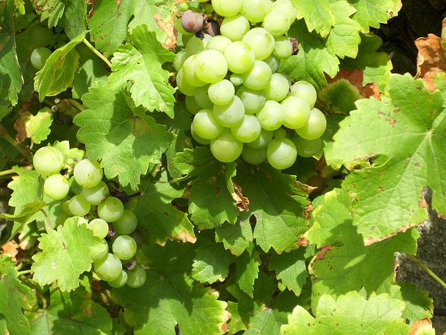 Free grapes vines nature plant fruits delicious sweet