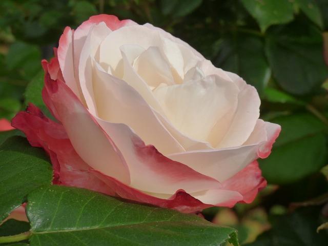 Free rose plant flower nature romantic roses