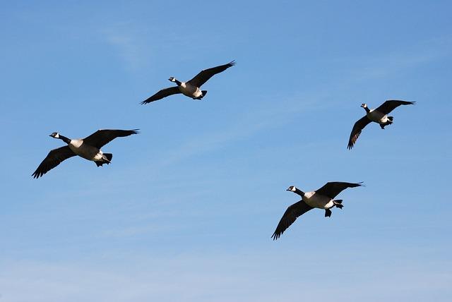 Free canada geese branta canadensis waterfowl landing
