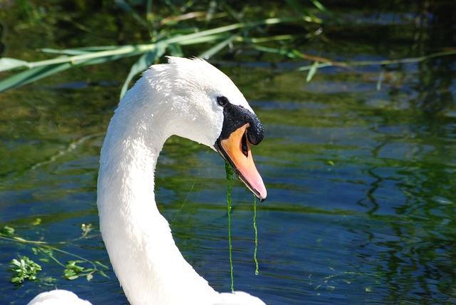 Free mute swan cygnus olor close-up waterfowl cob water