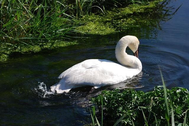 Free mute swan cygnus olor waterfowl cob white plumage