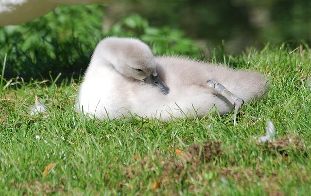Free mute swan cygnet cygnus olor bird close-up