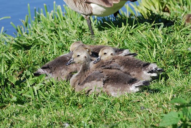 Free canada geese branta canadensis goslings waterfowl