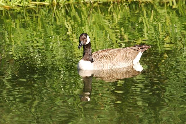 Free canada geese branta canadensis waterfowl goose