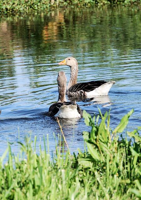 Free greylag goose anser anser wild bird feathers