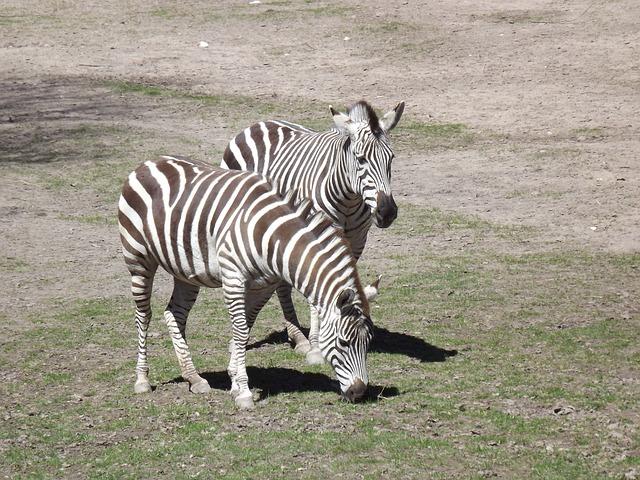 Free pets zebra stripes zebra crossing black and white