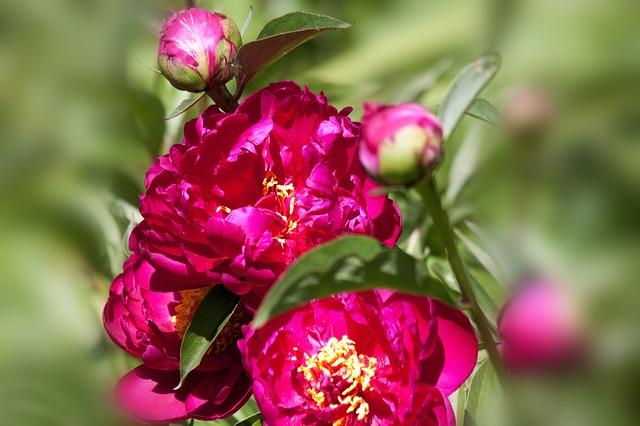 Free pentecost peony bush flower bud nature flora