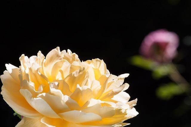 Free rose pink yellow green flowers summer flower