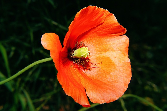 Free flower poppy poppy flower orange discreet macro