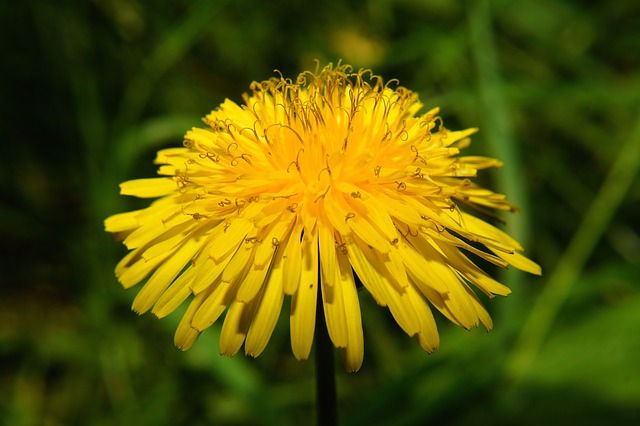 Free flower dandelion yellow bright close up colorful
