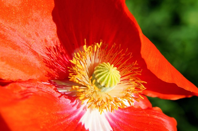 Free poppy flower section colorful gorgeous