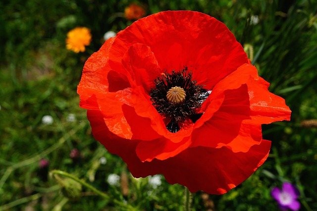 Free flower poppy red colorful close
