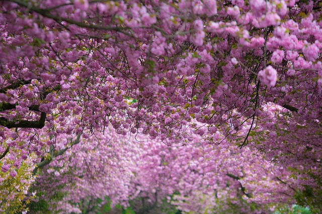 Free cherry blossoms pink purple spring flower