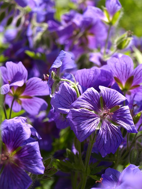 Free cranesbill perennials blue flower pointed flower