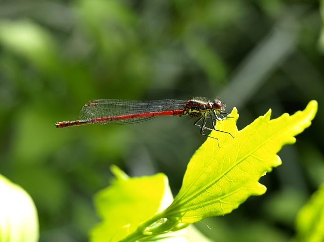 Free dragonfly red insect flight insect wing nature