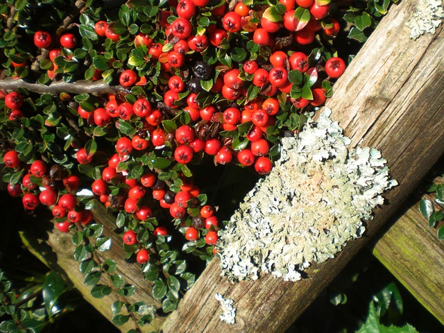 Free cotoneaster berries plant fence ornamental autumn
