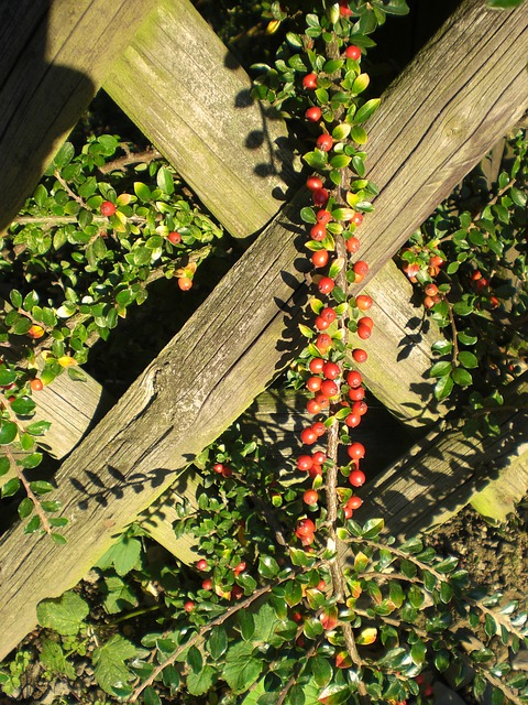 Free cotoneaster berries plant red fence ornamental