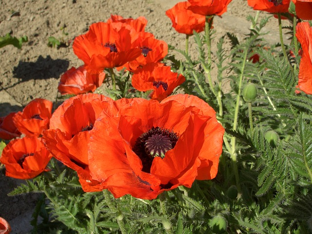 Free klatschmohn poppy red flowers summer flower plant