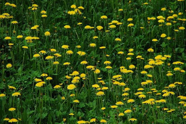 Free sonchus oleraceus dandelion meadow spring flowers