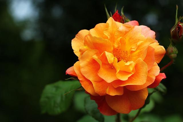 Free rose flower love plant color romantic rose bloom