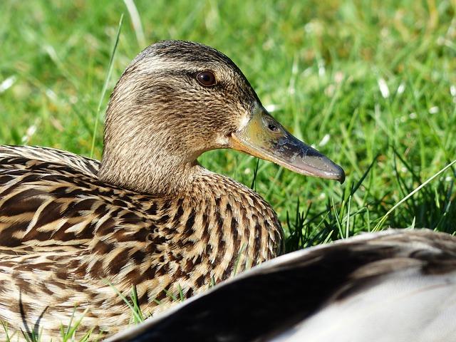 Free duck females mallard female anas platyrhynchos