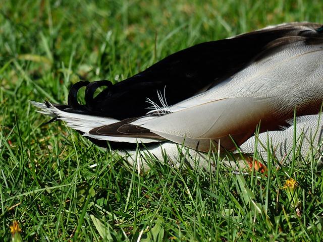 Free rump duck ducktail mallard drake plumage feather