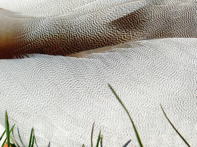 Free plumage feather white mallard drake males