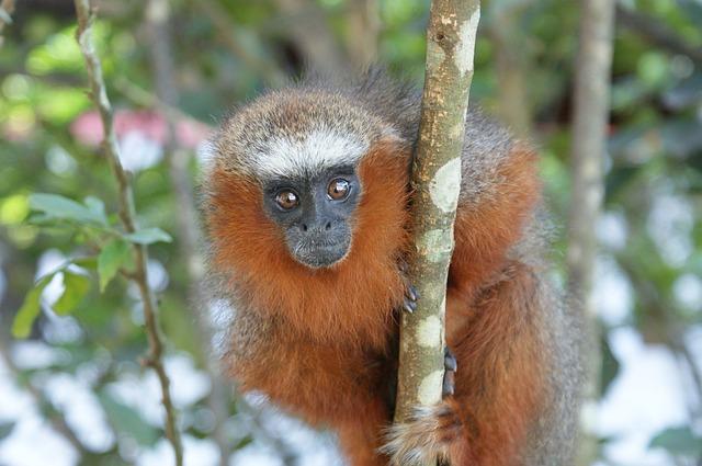 Free monkey animal wildlife closeup eyes wild cute