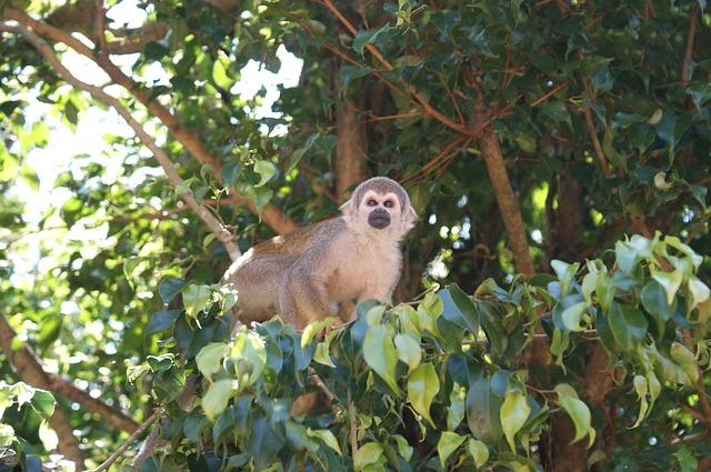Free monkey amazon spider monkey tree monkeys animals