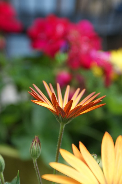Free daisy orange colorful blossom bloom african daisy