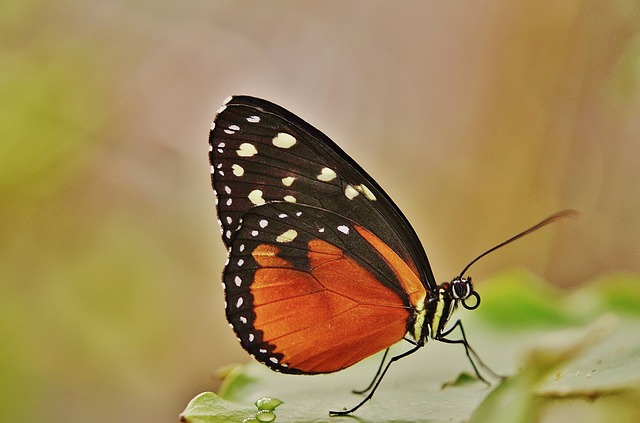 Free papilio rumanzovia butterfly animal black green