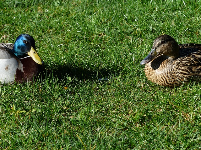 Free mallard pair stock duck couple pair males female