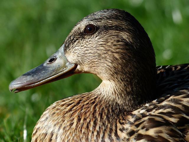 Free mallard female anas platyrhynchos march duck