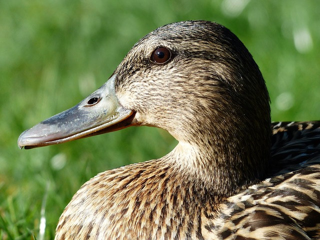 Free mallard female anas platyrhynchos march duck