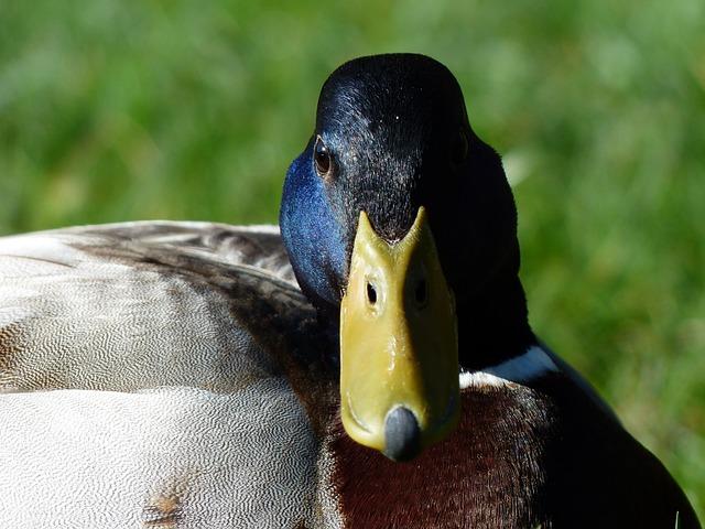 Free mallard drake males anas platyrhynchos march duck
