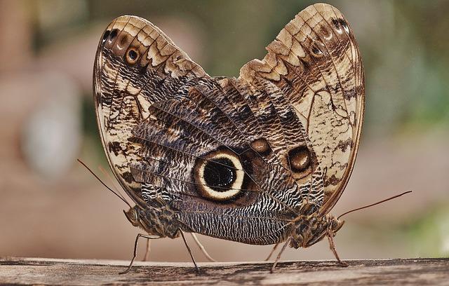 Free owl butterfly butterfly caligo edelfalter