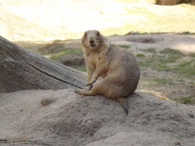 Free animal mammal zoo prairie dog rodent small