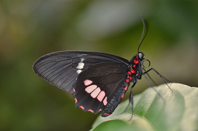 Free butterfly red black macro insect animal