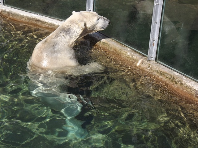 Free bear polar bear fur furry water wet nature