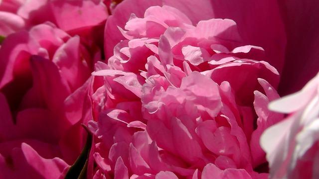 Free peony-leaves pink leaves bush flower rose blooms