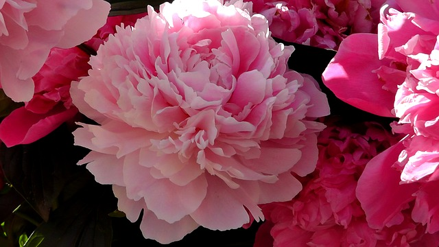 Free peony ornamental plant flower plant garden nature