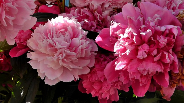 Free peony flower ornamental plant garden nature spring