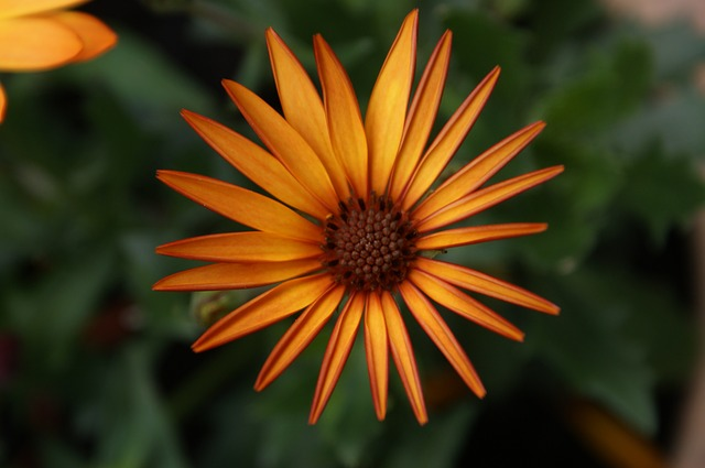 Free daisy african daisy flower floral spring