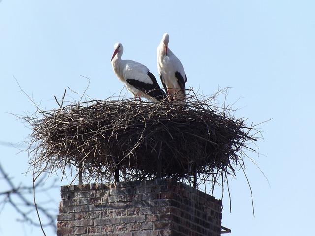 Free pets birds nature storks white stork storchennest
