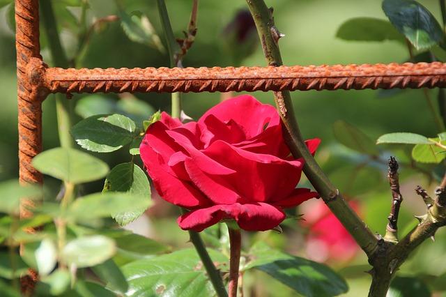 Free rose flower red stainless climbing rose
