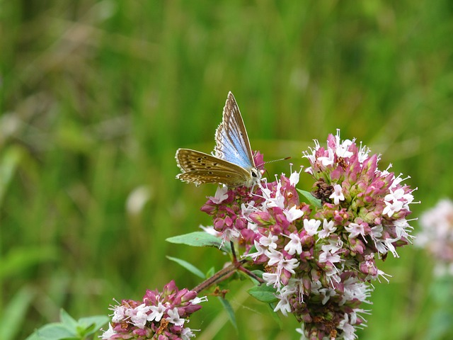 Free butterfly blue flower oregano nature wild europe